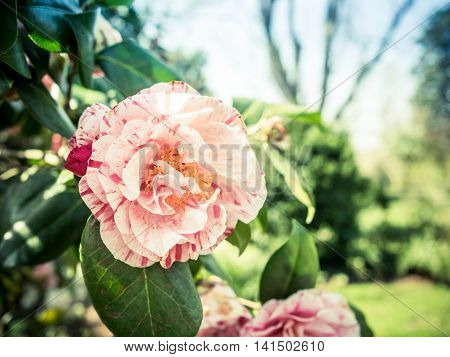 Pink and white variegated camellia in sunny garden
