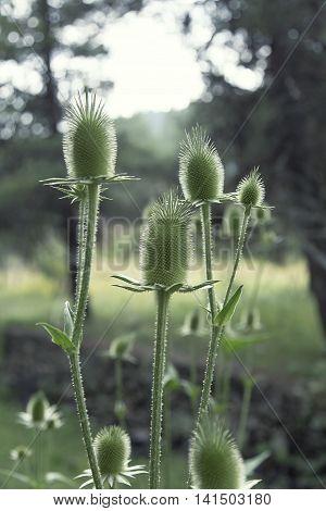 Thistle flower, green background, blurred natüre background
