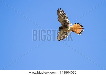 beautiful american kestrel gliding over the ancient Ruins of Pisac with a blue sky background.