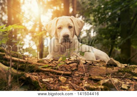 white labrador puppy dog in the forest while sunset