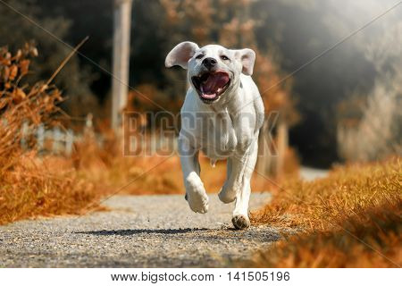 A young dog - labrador puppy - running in sunshine on a path to full speed with his tongue hanging out