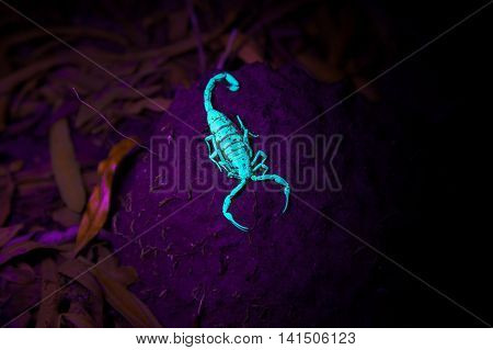 A desert bark scorpion sits on a clump of mud and luminesces under a black light at night. It's claws are facing forward and ready for prey.