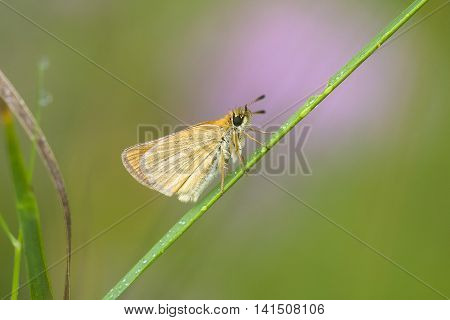 Essex Skipper (Thymelicus lineola) resting on a Grass-Stalk