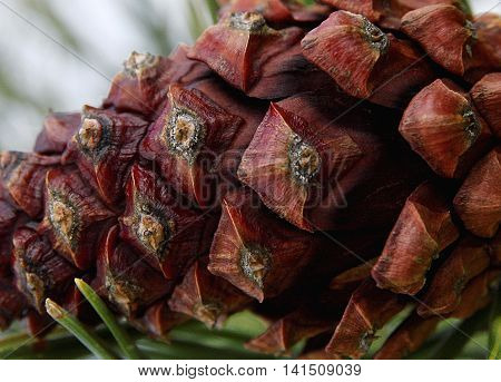 Macro pinecone hanging on the pine tree