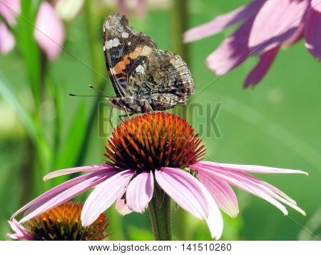 Red Admiral Butterfly on a flower in garden on bank of the Lake Ontario in Toronto Canada August 2 2016