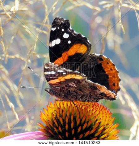 Red Admiral on a flower in garden on bank of the Lake Ontario in Toronto Canada August 2 2016