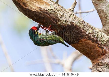 Coppersmith Barbet Bird on branch Green bird