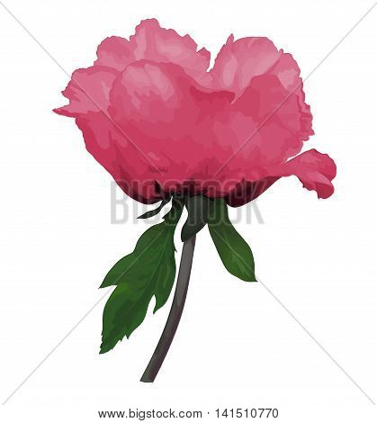 beautiful Plant Paeonia arborea (Tree peony) pink flower with stem and leaves isolated on white background. Hand-drawn with effect of drawing in watercolor. Design element for decorating greeting cards and invitations to the wedding birthday