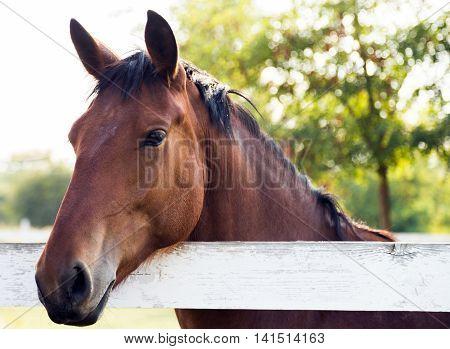 sunset Horse mare head portrait outdoor sunlight