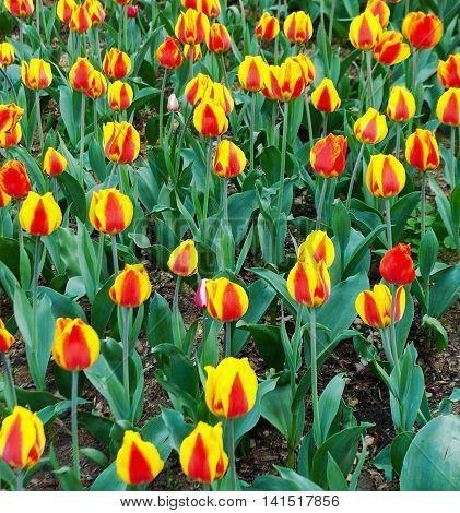Yellow Tulips Grow