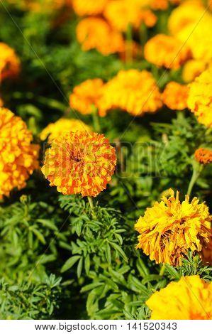 Marigold Flowers In A Garden