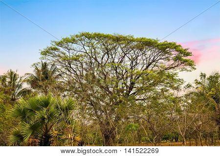 Rain Trees Tropical Tree
