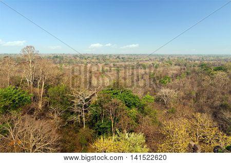 Rain Trees  Jungle Tree