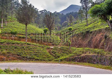 Green Tea Leaf Green Fields