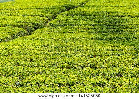 Sri Lanka Tea Leaf Green Fields