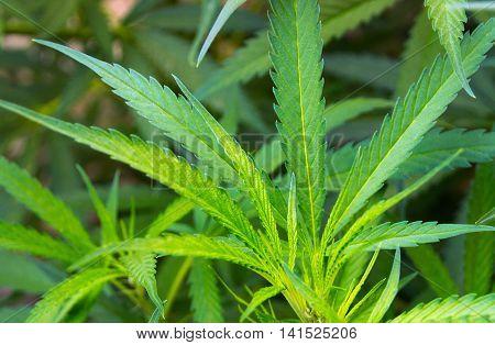 Leafs Marijuana Herbal