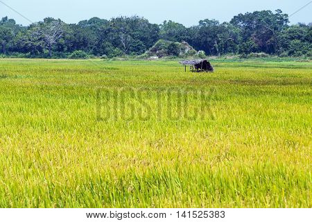 Green Paddy Fields Old Wooden Shack