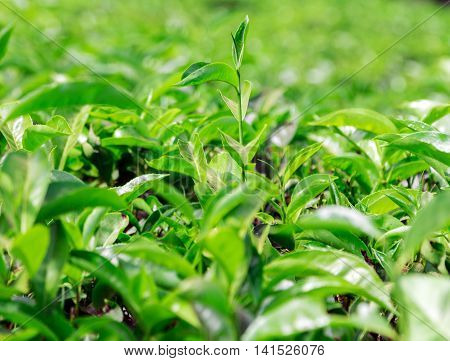 Plantation Fields Of Ceylon Tea In Sri Lanka