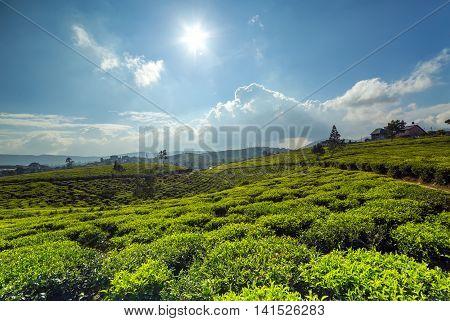 Sunlight On Green Tea Leaf Green Fields