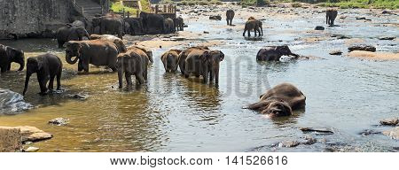 Asian Elephant Family In Water