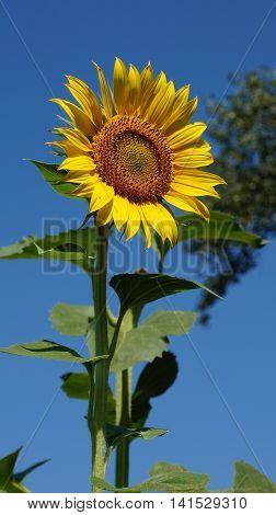 Yellow sunflowers facing the warm sun. Sunflower field.