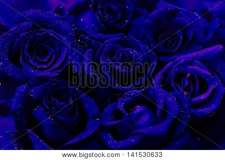 Dark blue roses glimpse color style background with water drops.