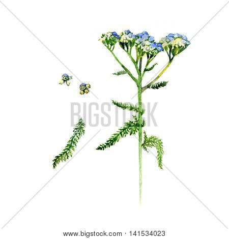 Hand-drawn watercolor botanical illustration of the yarrow plant flowers leaves and root. Milfoil drawing isolated on the white background. Medical herbs illustration