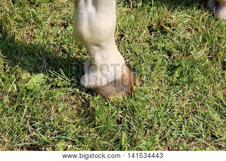 Horse hoof with horseshoe close up on green grass background