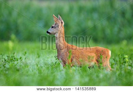 Wild roe deer cub standing in a field