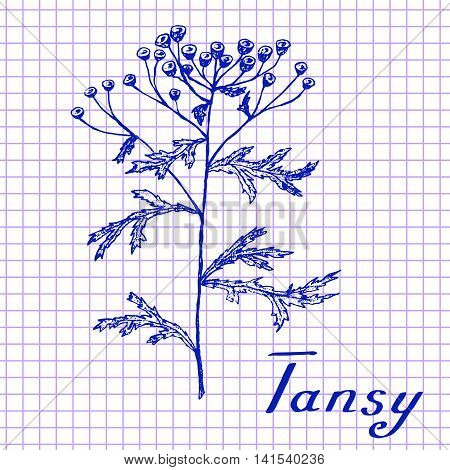 Tansy. Botanical drawing on exercise book background. Vector illustration. Medical herbs