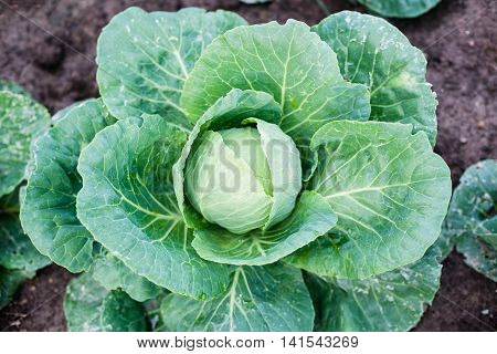 Head Of Cabbage Plugs