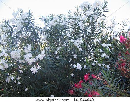 Adelfas. Plantas  con flores hermosas. Ciudad de  Zaragoza.