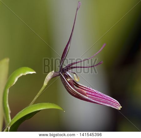 Purple Restrepia Orchid - Restrepia purpurea From Colombia