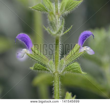 Annual Clary or Red-Topped Sage - Salvia viridis Mediterranean wild flower