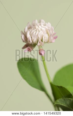 Clover flower over green background close up