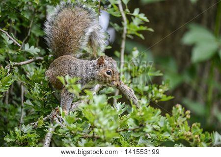 Portrait Of Cute Grey Squirrel Sciurus Carolininsis On Branch In Tree