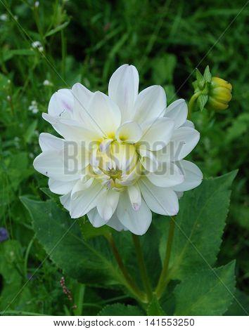 White dahlia flower blooms in the garden