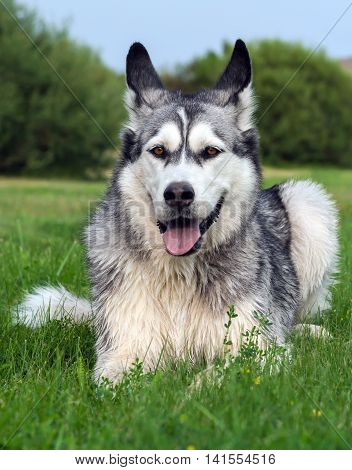 wet fluffy, adult dog alaskan malamute lies in nature late afternoon, portrait in full growth ,  closeup, blue sky and trees in the background, looking eyes at the camera