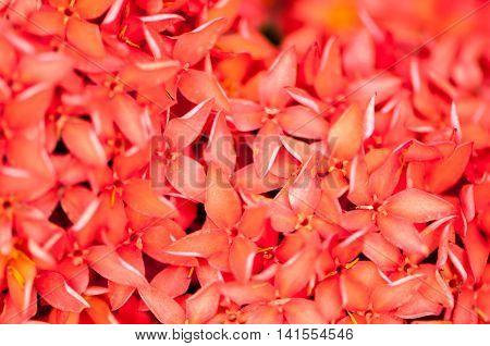 Ixora coccinea It is a flowering shrub native to Southern India and Sri Lanka