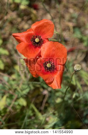 Fresh red poppy anemone flowers early in spring