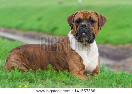 the one-year-old puppy of the german boxer lying on the grass cuttings in the summer , sunny evening,  intense looking away