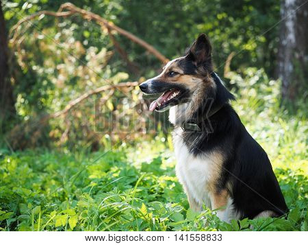Portrait of a big dog in a collar. Green grass forest. Funny expression of a muzzle. Profile