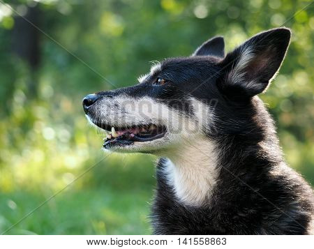 Portrait of a big dog. Natural beautiful backdrop. The muzzle teeth and jaws. Dog street homeless