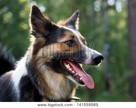 Portrait of a big dog in a collar. Natural beautiful backdrop. Profile of the muzzle teeth tongue jaws