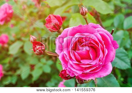 Pink rose flower with buds on a background of a green bush. Shallow depth of field.