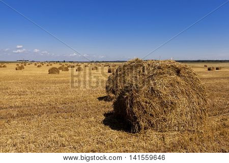 in a stack of twisted straw remains in the field after harvesting cereal