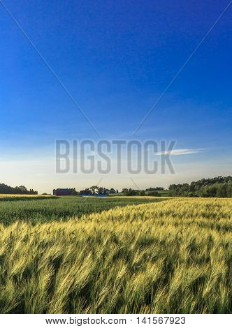 A landscape of a wheat field in the late day sun in front of a Wisconsin farm.