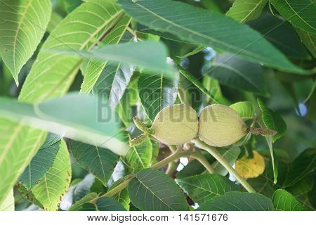 Green walnuts on a tree branch close-up