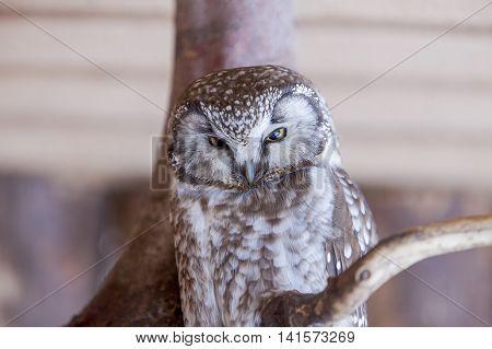 Boreal Owl (Aegolius funereus) resting on a branch