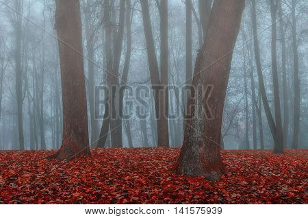 Autumn nature -foggy autumn view. Autumn park in dense fog - autumn landscape with autumn trees and orange fallen leaves. Autumn park in dense autumn fog. Soft focus applied.